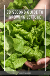 guide to growing lettuce