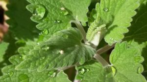 how to use catnip in companion planting guide plan vegetables