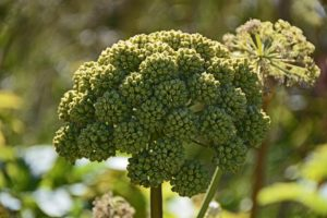 how to use angelica companion plants guide plan