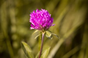 how to use clover in companion planting
