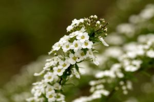 how to use Sweet Alyssum in companion planting guide plans