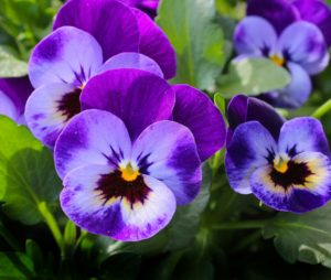 pansies in companion planting plants pansy guide plans