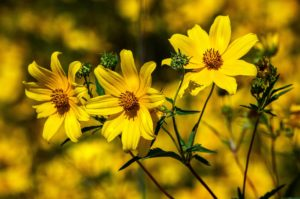 tickseed Coreopsis how to companion planting guide plans