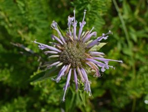 wild-bergamot-for companion planting guide plans how to