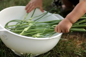 baby helping with the garlic scapes