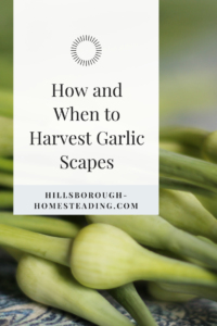 how and when to harvest garlic scapes scape recipe pickled homesteading permaculture