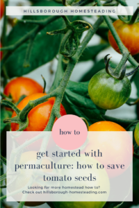 how to save tomato seeds permaculture self-sufficiency seed saving start from seed vegetable garden