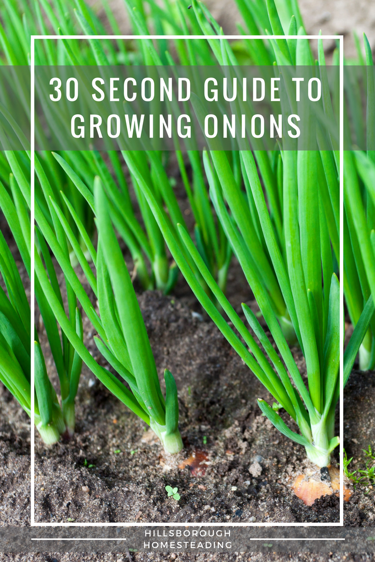 guide to growing onions
