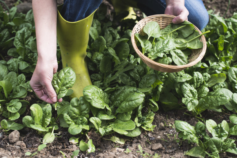 How to Grow Spinach – A Beginner's Guide