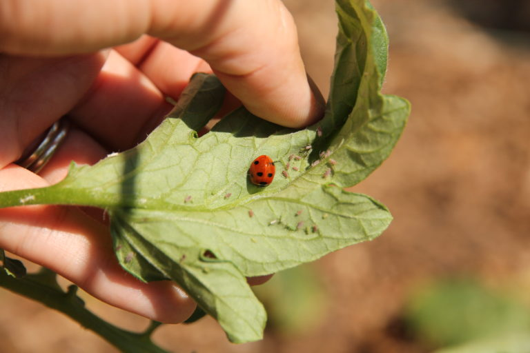 Lady beetle eating aphids