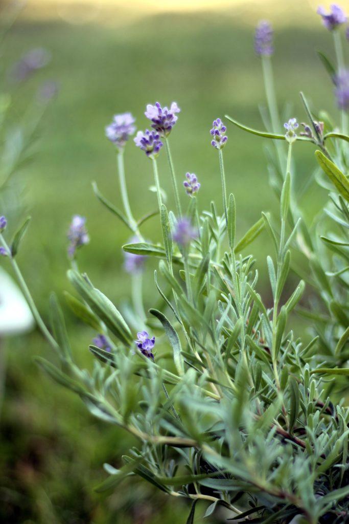Medicinal Plant Profile Lavender
