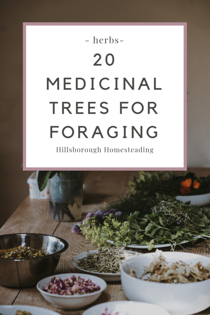 medicinal trees from which to forage medicine