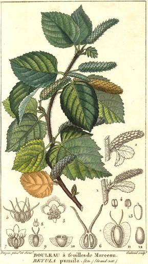 how to use alder tree medicinally