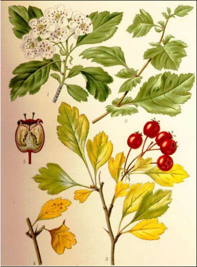 how to forage hawthorn for medicinal use
