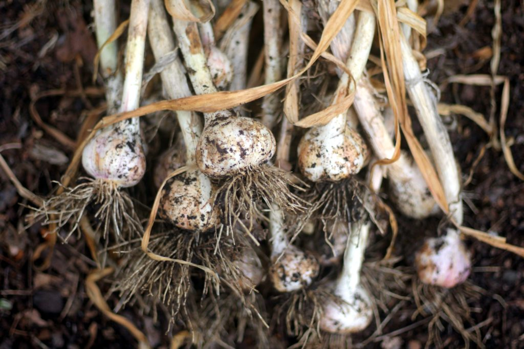 How to grow garlic for herbal remedies
