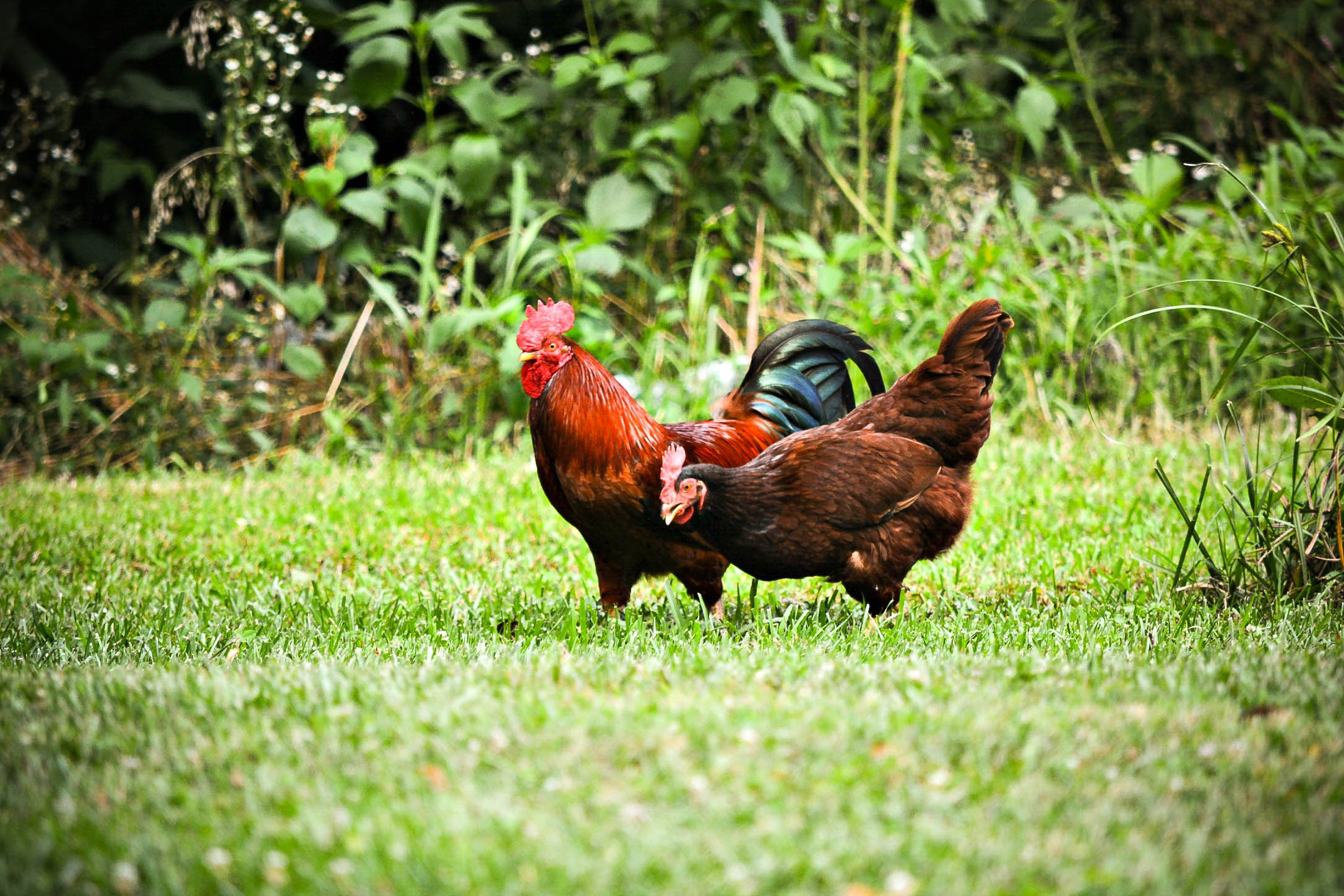 How to Reduce Waste in Your Chicken Coop