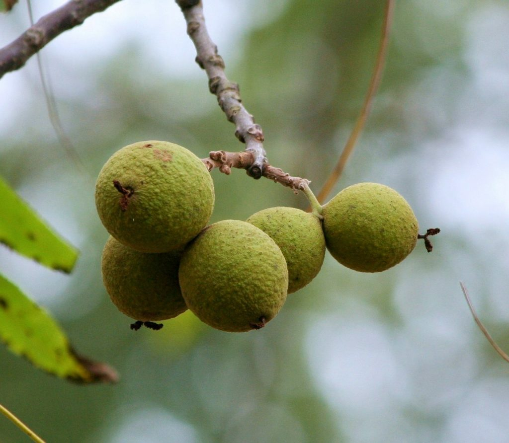 black walnuts on a walnut tree