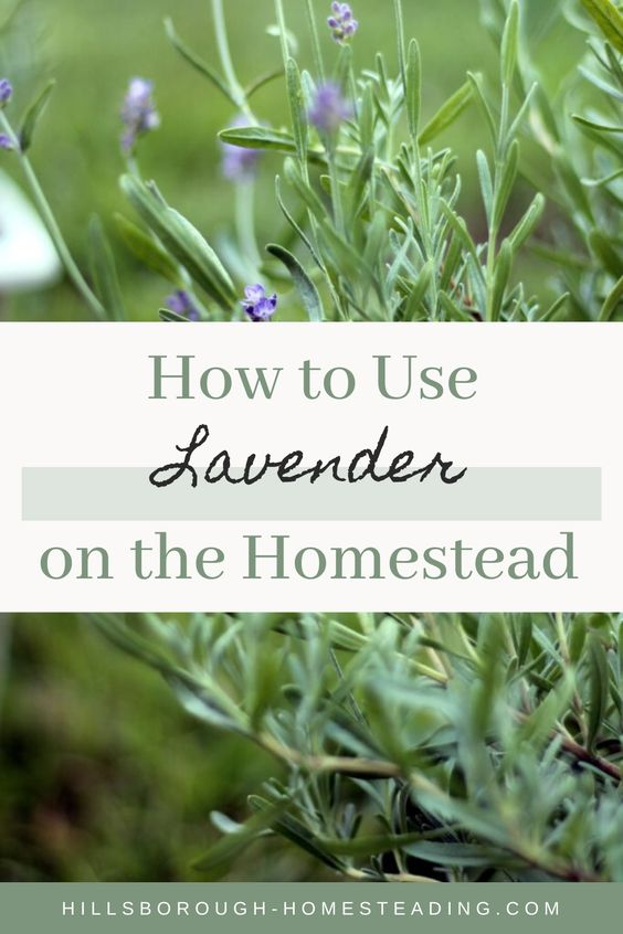 what can i do with lavender leaves