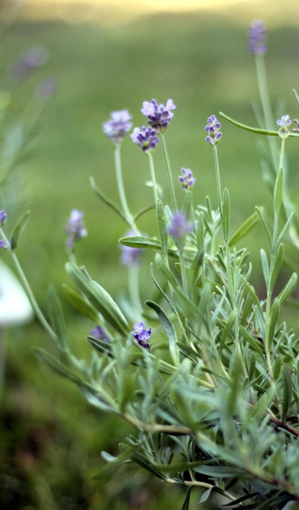 uses for lavender leaves or flowers