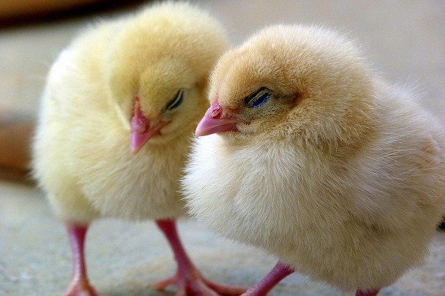 two fluffy yellow baby chicks