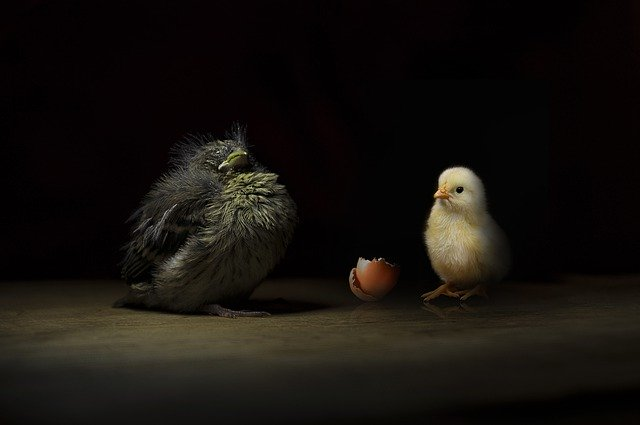 large baby chick next to small baby chick