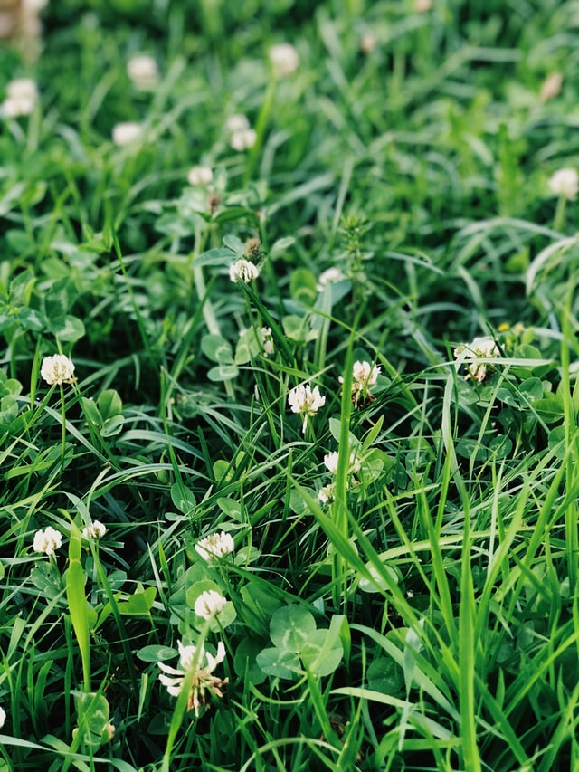 clover as a cover crop in a yard