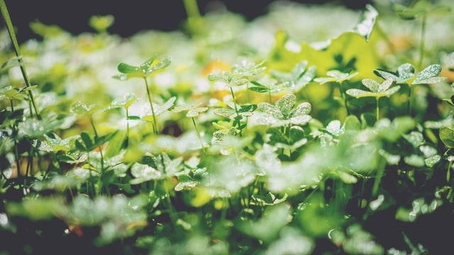 clover as a cover crop in a garden