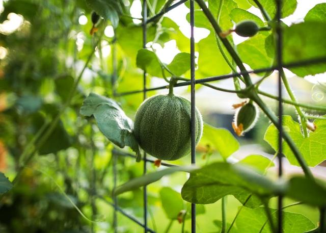 watermelon growing on a trellis