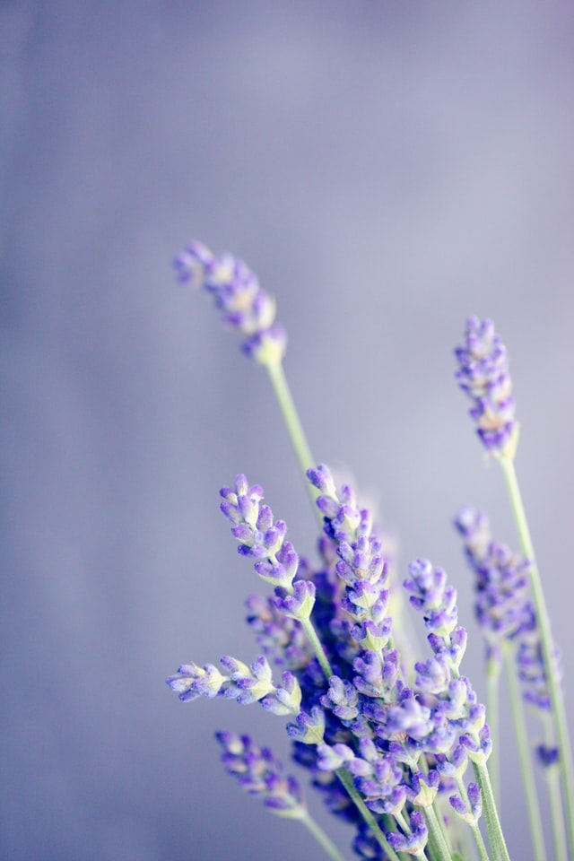 close up of a bunch of lavender branches