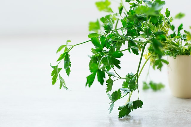 cilantro as herbal remedy
