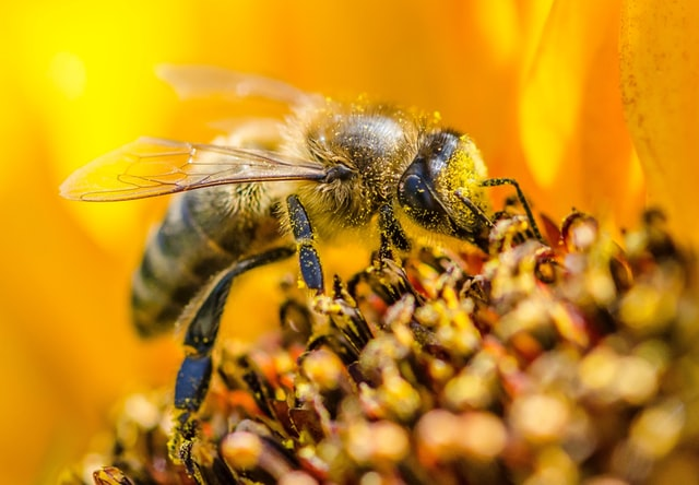 bee pollinating a melon plant