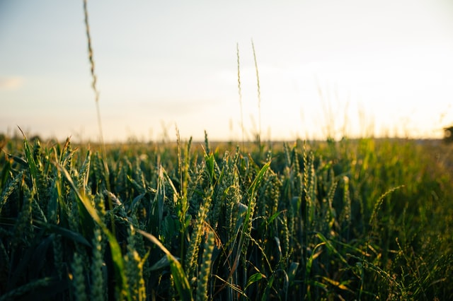 rye as a cover crop