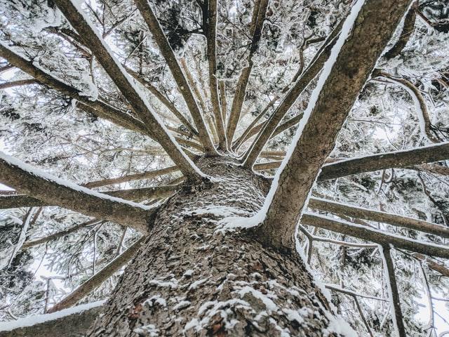 types of wood pine tree