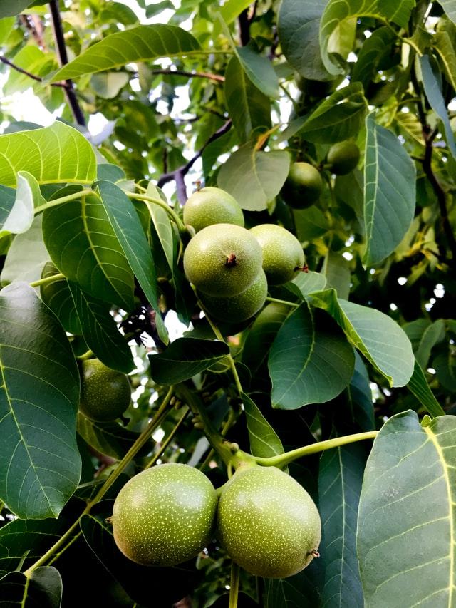 walnut tree and nuts