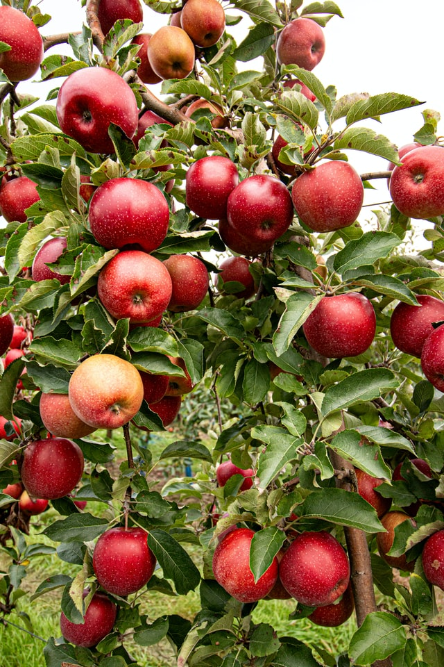 an apple tree full of red apples