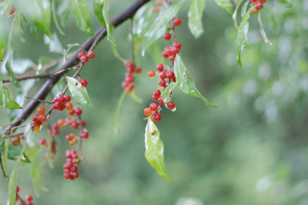 red autumn olive berries on a branch