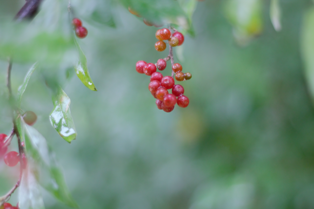 little red autumn olive berries