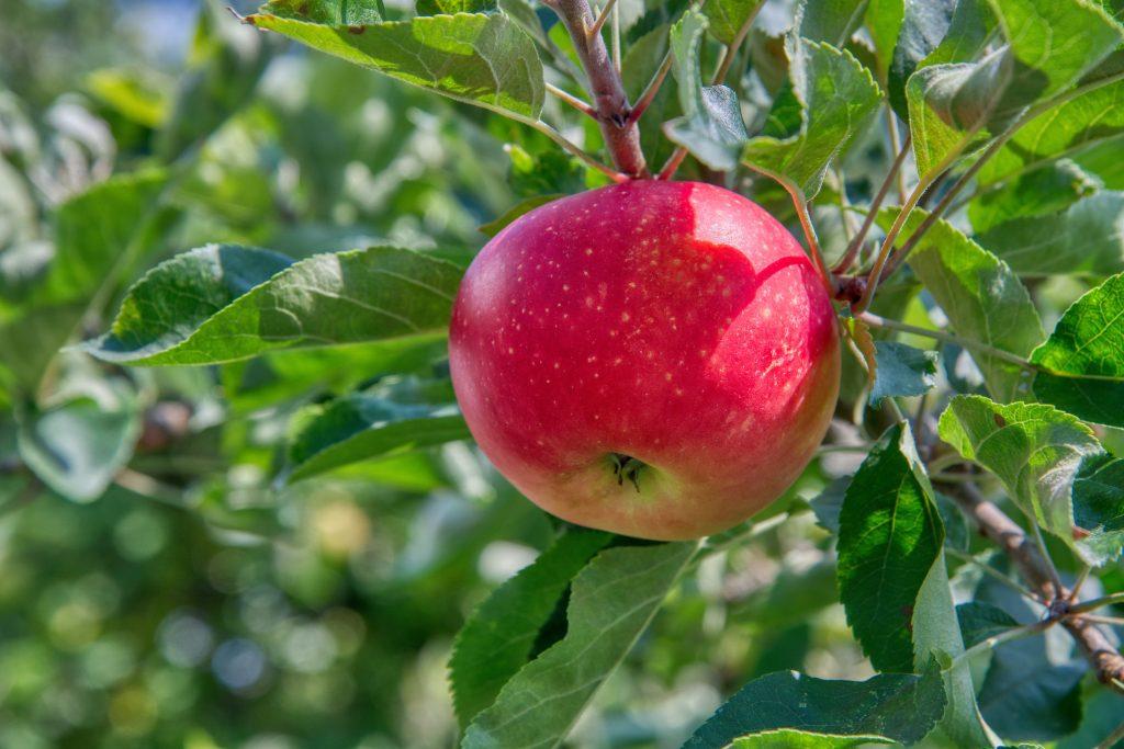 single red apple used to make apple cider vinegar