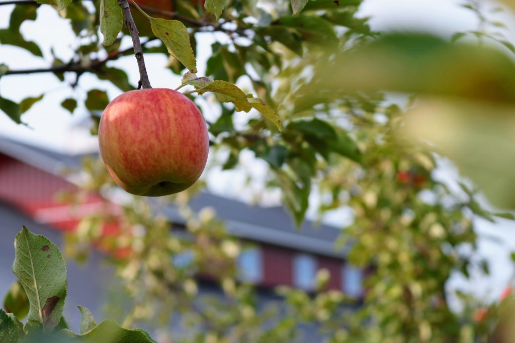 single red apple in a tree used for apple cider vinegar (ACV)