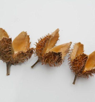 three empty beech nut shells