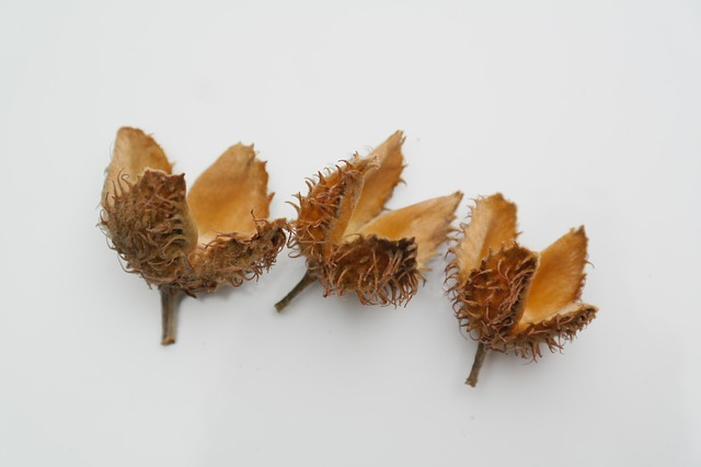 three empty beech nut shells