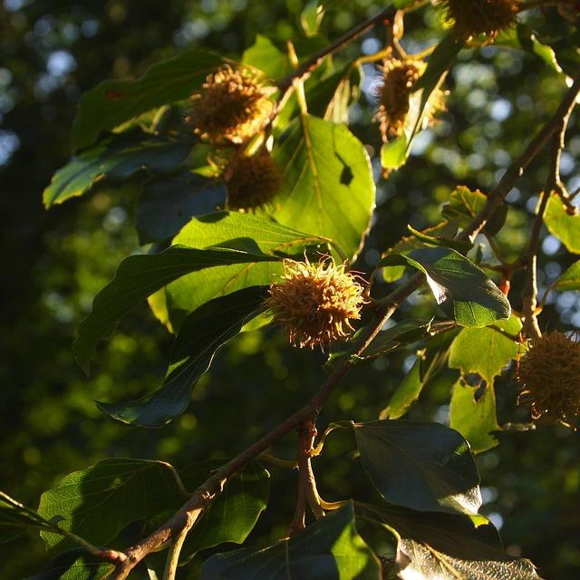 spikey beech nuts in a tree
