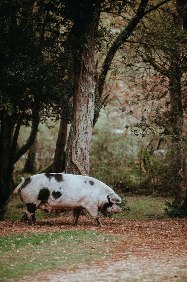 large spotted heritage pig
