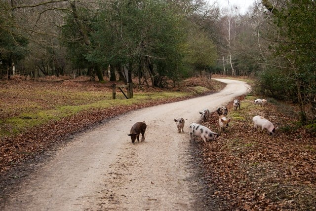 group of heritage pigs on a back country road