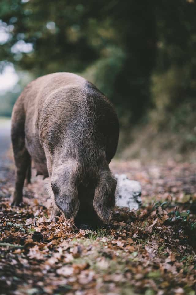 heritage pig foraging in the woods