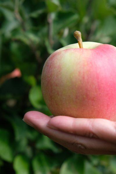 hand holding a pink apple for making apple cider vinegar (ACV)