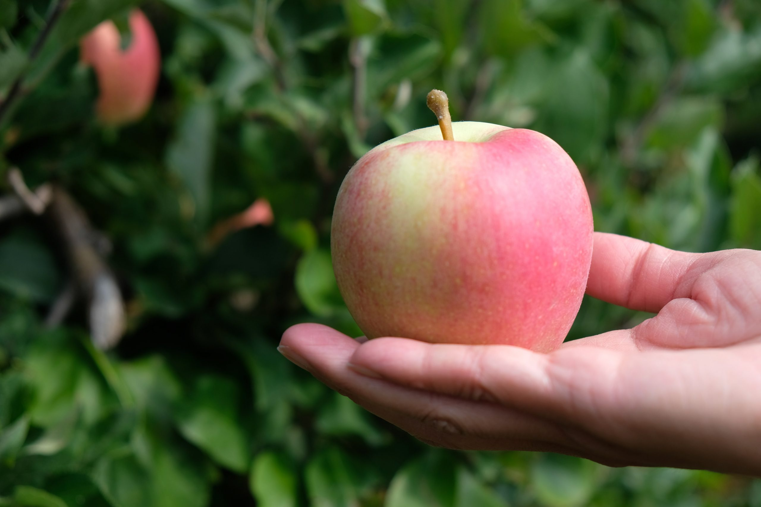 hand holding a pink apple for making apple cider vinegar (ACV)