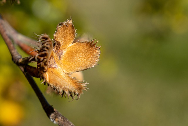an empty beech tree nut husk