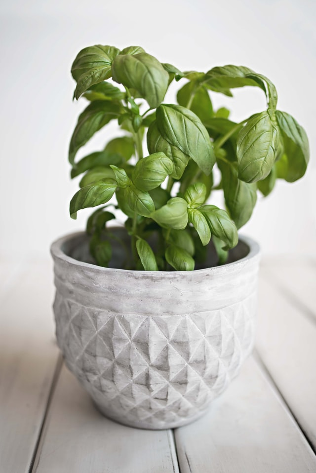how to propagate basil plant from cuttings