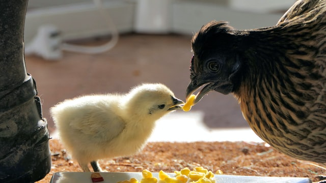 hen and baby chick eating corn to keep warm in winter